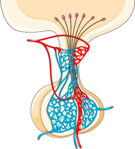 Glande pituitaire