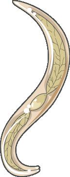 ancylostoma larve