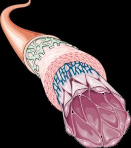 Artère couches apoptose