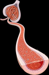 Artère glomerule