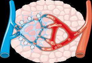 Formation d'un oedeme