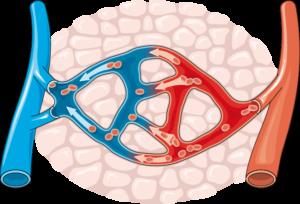 capillaire vasodila
