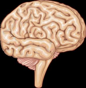Cerveau beau