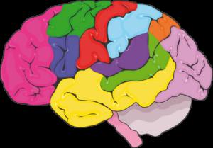 Cerveau zones fonctionnelles