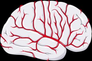 Circulation cérébrale