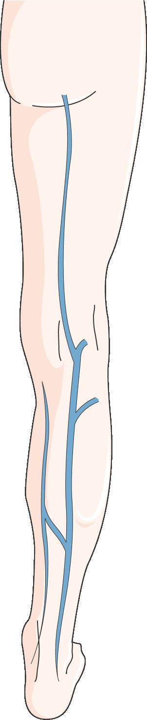 circulation veineuse