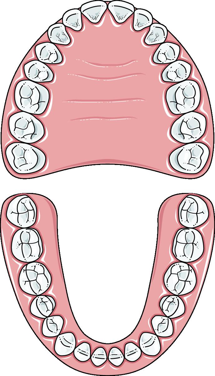 dents adultes
