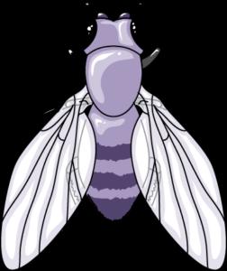 drosophile