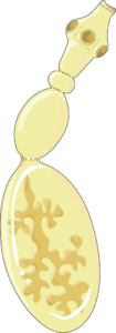 echinococcus adulte