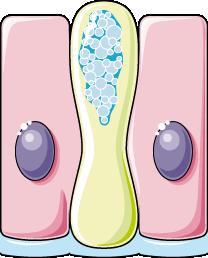 Epithelium cylindrique