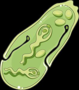 fasciola sporozoïte