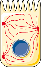 filament intermediaire cellule