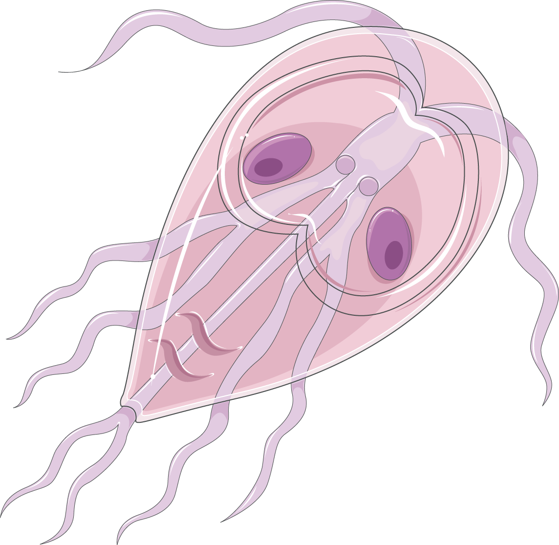 giardia trophozoïte