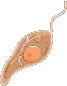 leishmania promastigote