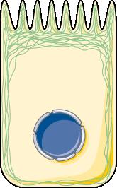 Filament d'actine