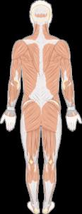Musculature dos