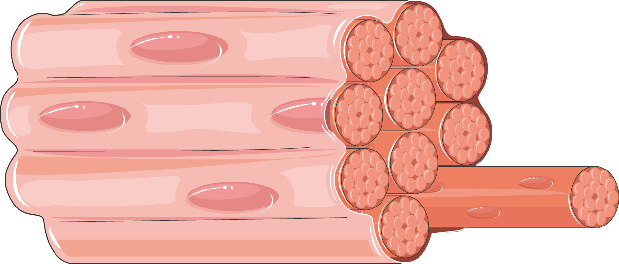 Smooth Muscle Cell Servier Medical Art 3000 Free Medical Images