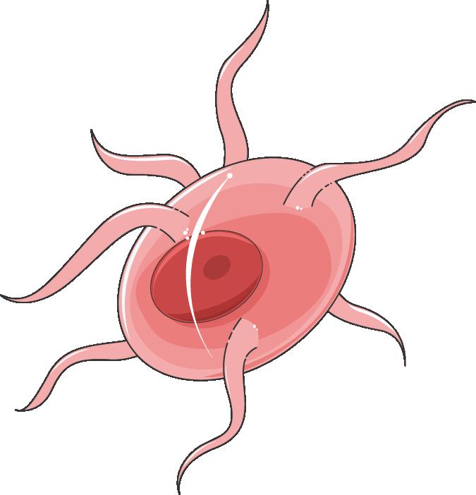 plasmodium gamète male