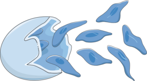 plasmodium sporozoïte