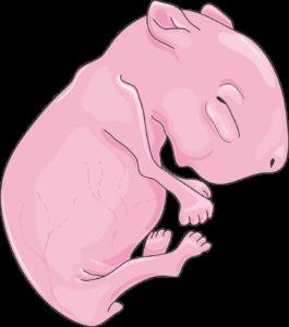 Rat nouveau-né