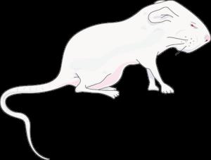 Jeune rat