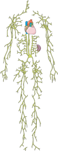 Système lymphatique