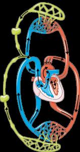 Système lymphatique circuit