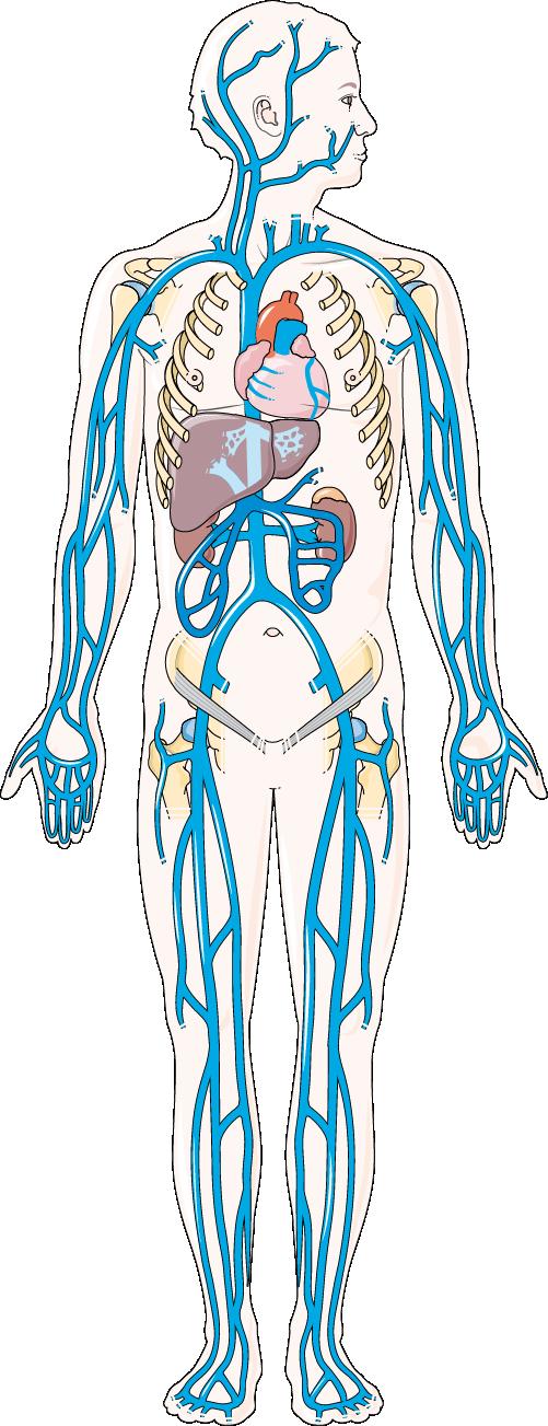 système veineux