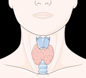 Thyroïde normale