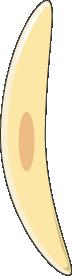 toxoplasma mérozoite