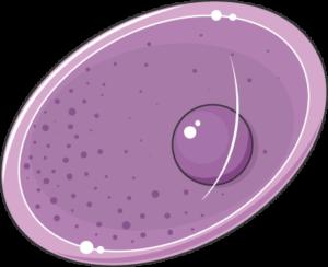toxoplasma oocyste