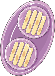 toxoplasma oocyste sporule
