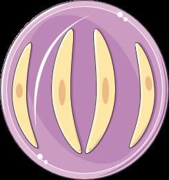 toxoplasma sporokyste