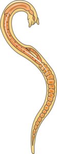 trichinella adulte