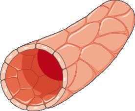 apoptose normale