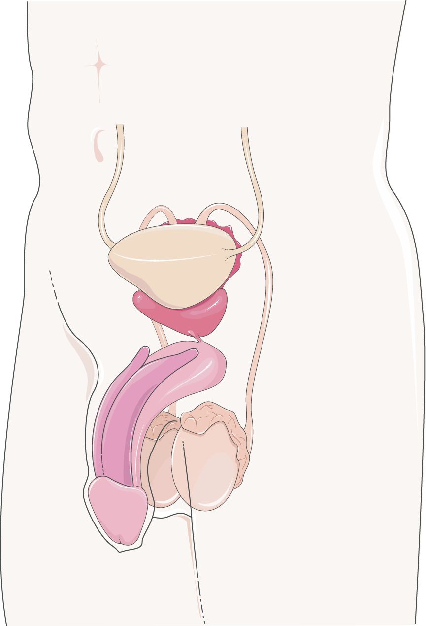Ovary And Ovum Servier Medical Art 3000 Free Medical Images
