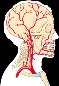 Artère tête