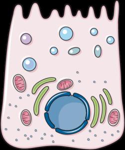 cellule principale