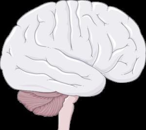 Cerveau tronc