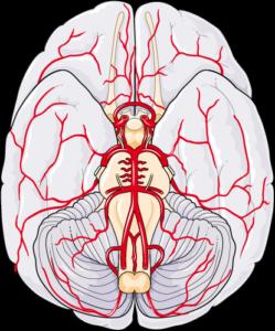 Cerveau willis