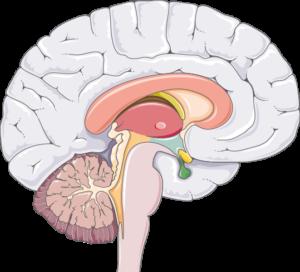 Cerveau zones