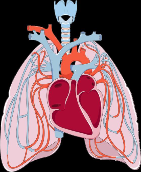 Pulmonary Circulation Servier Medical Art 3000 Free Medical Images