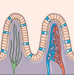 Villosité intestinale