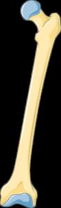 Fémur