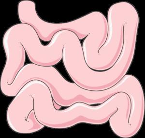 intestins
