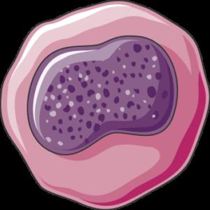 Mégacaryocyte