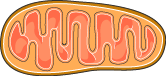 Mitochondrie