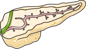 pancréas coupe