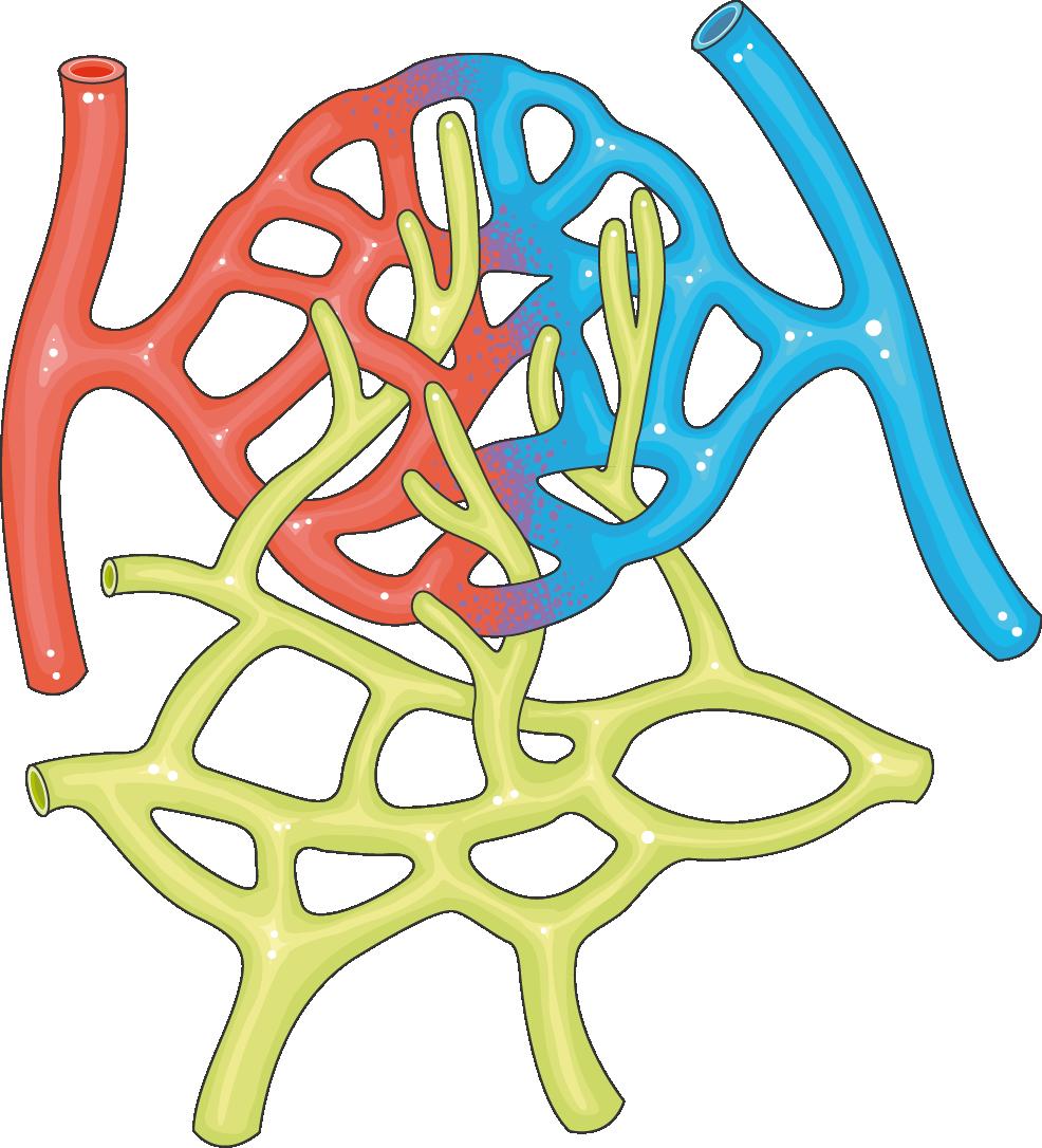 réseau capillaire