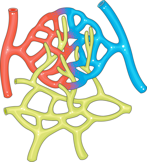 Capillaries Servier Medical Art 3000 Free Medical Images